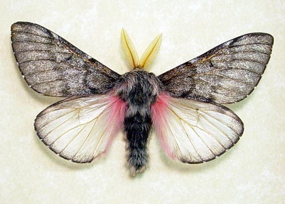 Fuzzy Furry Real Framed Pink Teddy Bear Moth 7875