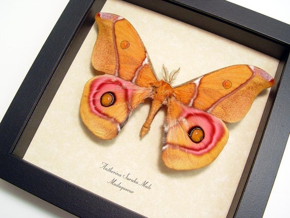 Pink Male Madagascar Moth Conservation Quality Display  638m