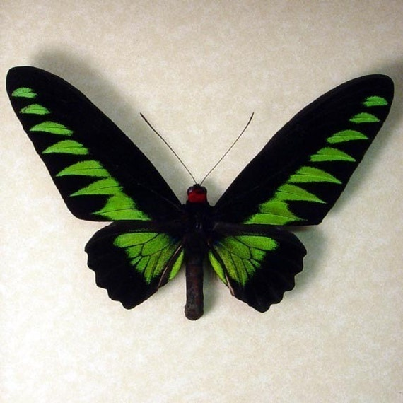 Birdwing Real Butterfly Brookes Birdwing Free Shipping 159