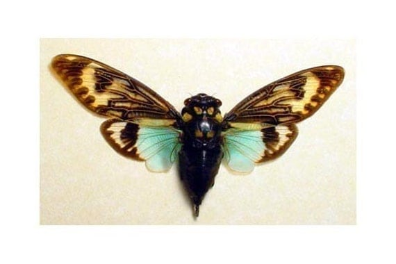 Cicada Song Big Aqua Blue Winged Conservation Display 2162