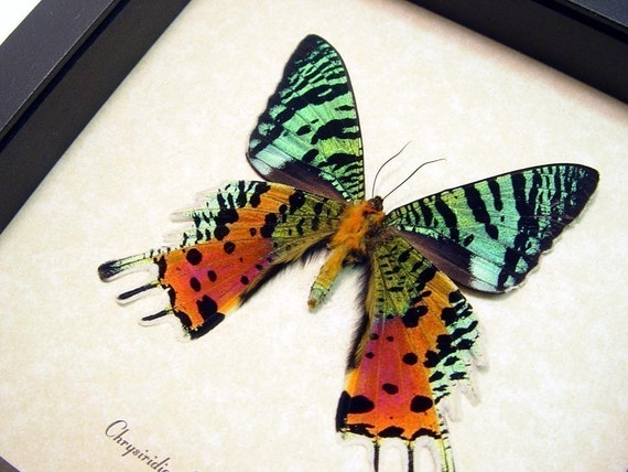 Best Seller For 18 Years Madagascar Sunset Moth Display 163v