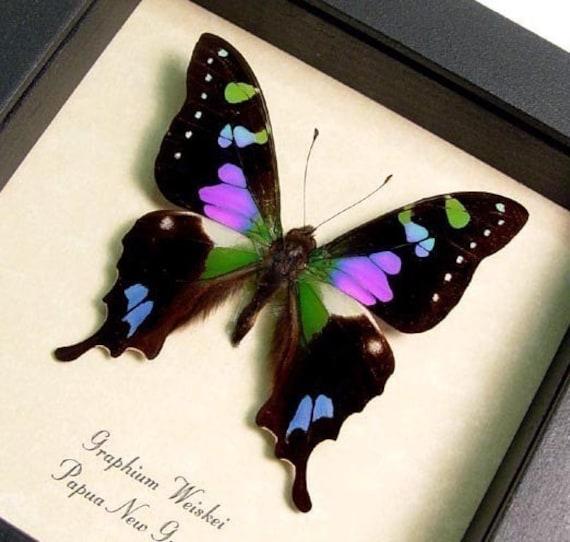 Dad's & Grad's Gift Best Seller Butterfly Purple Spot Swallowtail FREE SHIPPING 229