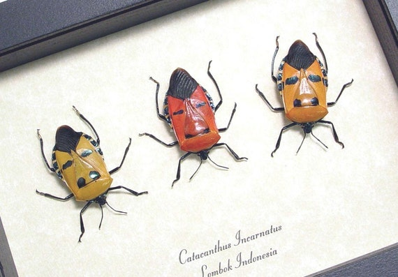 3 Tribal Man Face Beetle Set Conservation Quality Display 2220s