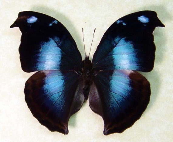 Wedding Gift Real Framed Blue Purple Butterfly Conservation