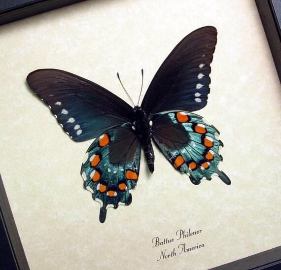 Rare Battus Philenor N. American Real Butterfly Display 548v