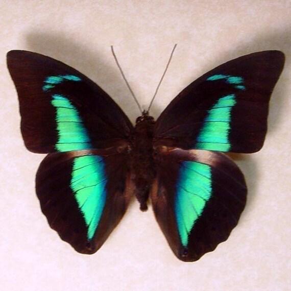 Butterfly Blue Reflector Prepona 921