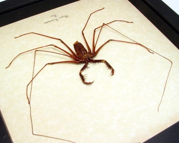 Real Framed Scary Cave Spider Conservation Quality Display 2307s