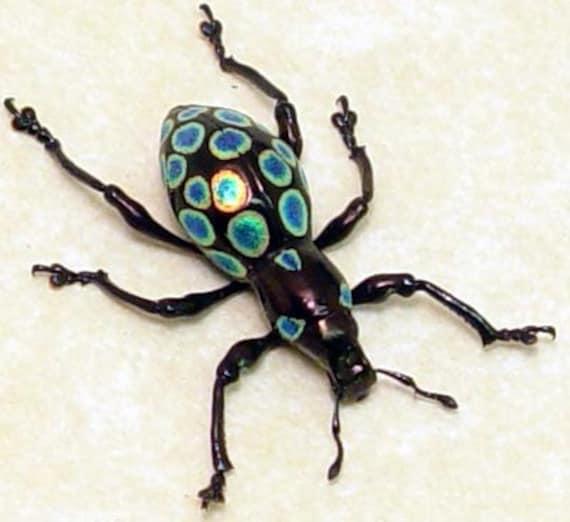 Dad's & Grad's Real Rare Framed Metallic Polka Dot Weevil Beetle 7934