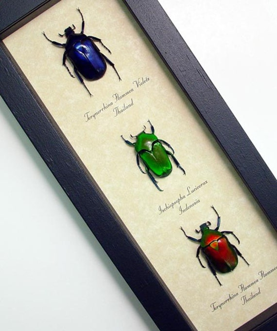 Real Framed Bright Red Green Blue Jewel Beetle Set 7922