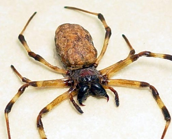 Wow Real Framed Striped Leg Spider Display 7931