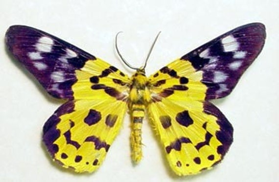 Dysphania Militaris Purple Yellow Real Framed Moth 669