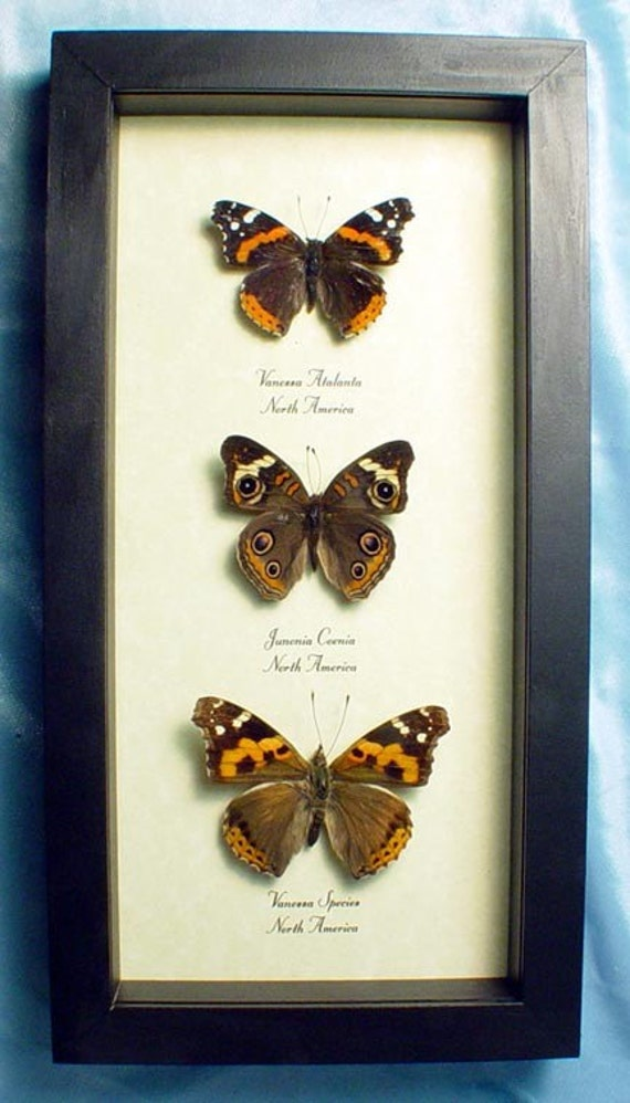 North American Trio Real Butterfly Set 6290