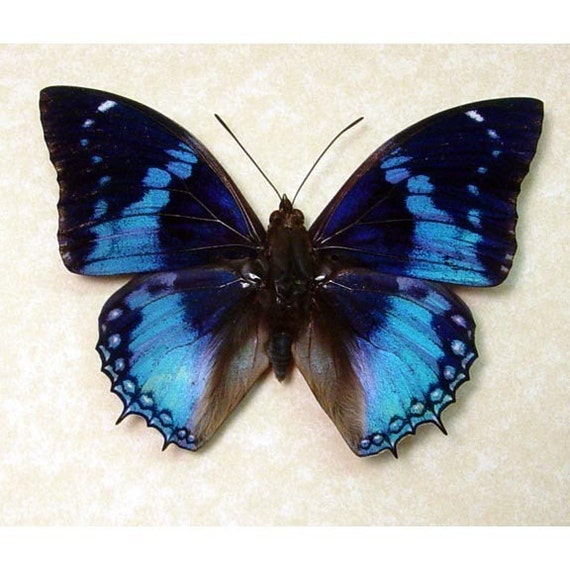 Mother's Day Gift Real Blue Butterfly Display 202