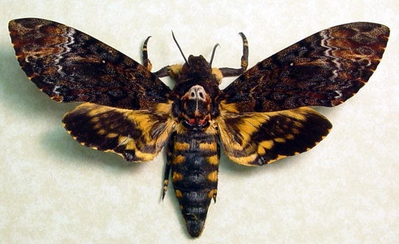 Real Death's Head Moth Silence Of The Lambs only 1 9812