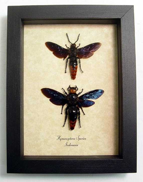 Real Strange Scary Faced Framed Wasp Pair 8001