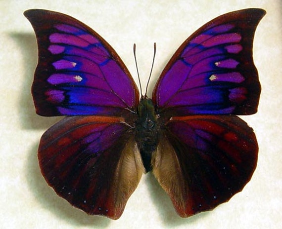 Real Framed Rare Purple Butterfly Anaea Tyrianthina Shadowbox