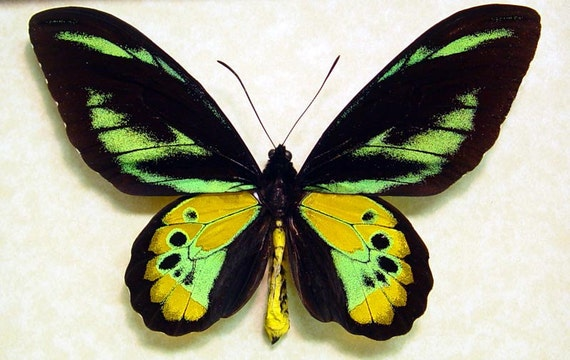 Butterflies Insect Ornithoptera Rothschildi Real Mounted Framed Birdwing Butterfly 1032