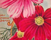 1896 Vintage Botanical Print of Early Flowering Cosmos - Chromolithograph