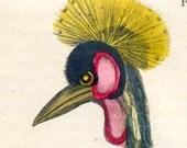 Antique Print of Cranes - 1828 Hand-Colored  Bird Print