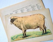 1912 Antique Flipaway Sheep Print. Five Sheep for the Price of One