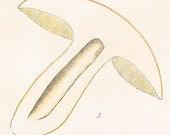 1912 Antique Coloured Plate of Elegant Mushrooms. Suillus castaneus