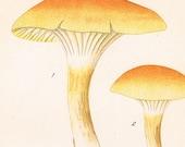 1912 Antique Coloured Plate of Elegant Mushrooms. Limacium aureum