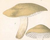 1912 Antique Coloured Plate of Elegant Mushrooms. Limacium agathosmum
