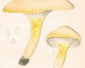 1912 Antique Coloured Plate of Elegant Mushrooms. Limacium chrysodon