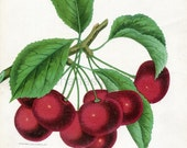 1890 Very Rare Vintage Botanical Print of Olivet Cherries - Chromolithograph