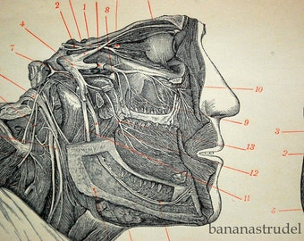 Antique Print of the Nervous System -  1895 Anatomy Engraving