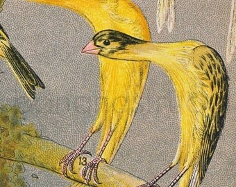 1892 Antique Chromolithograph of Canaries