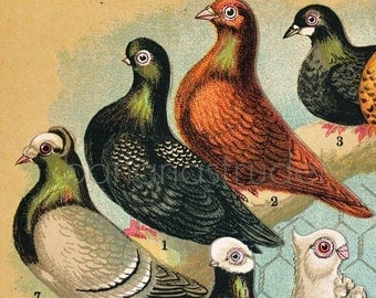 1892 Antique Chromolithograph of Fancy Pigeons