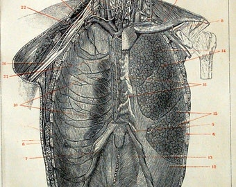 Antique Print of the Lungs - 1895 Vintage Anatomy Engraving
