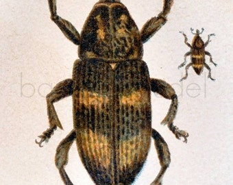1895 Antique Print of Forest Beetles
