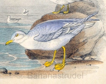 1853 Rare Antique Goldsmith Hand Coloured Copper Plate Engraving of Gulls and Terns