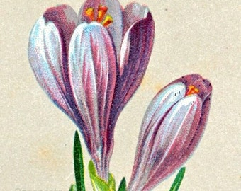 1901 Vintage Botanical Print of Spring Saffron and Grasses. No. 3 - Chromolithograph