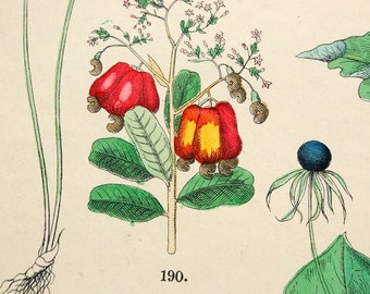 1881 Vintage Botanical Print - Handcolored (31)