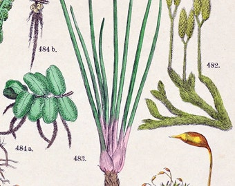 1881 Vintage Botanical Print Handcolored (78)