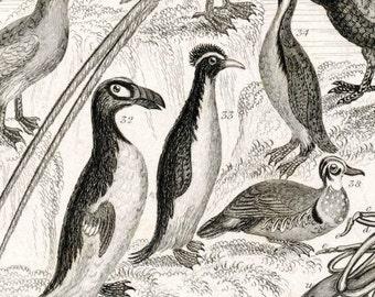 1853 Rare Antique Goldsmith Copper Plate Engraving of Birds. No. 2