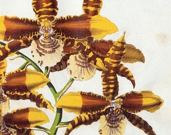 Antique Botanical Print of Orchids -  Odontoglossum Grande - 1875 Chromolithograph by James Anderson