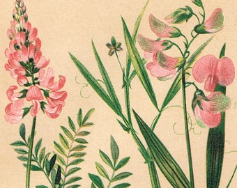 1901 Vintage Botanical Print of Sainfoin, Tufted Vetch, Everlasting Pea, and Other Plants. No. 48 - Chromolithograph