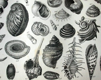 1851 Antique Steel Engraving of Shells and Coral. Plate 75