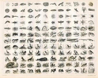 1851 Antique Steel Engraving of 140 Miniature Animals