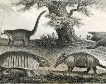 1851 Antique Steel Engraving of Armadillos, Anteaters, Sloths, and Kangaroos. Plate 112