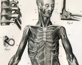 1851 Antique Steel Engraving of the Human Muscles and Ligaments. Plate 125