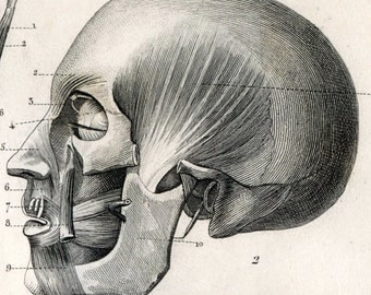 1860 Antique Print of Human Muscles - Plate 127