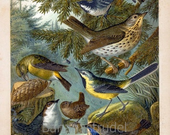 1894 Brilliantly Coloured Chromolithograph of Central European Songbirds. Robin, Redwing, Firecrest, Wren, Crossbill, and Others