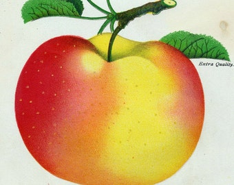 1890 Very Rare Vintage Botanical Print of the Gideon Apple - Chromolithograph