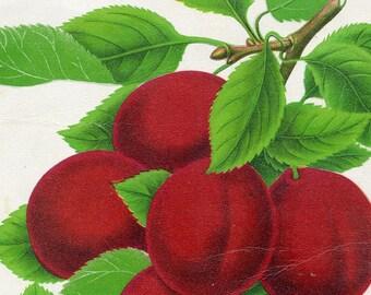1890 Very Rare Vintage Botanical Print of a Lombard - Chromolithograph