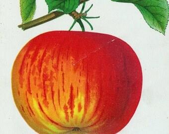 1890 Very Rare Vintage Botanical Print of Quebec Winter Sweet Apples - Chromolithograph
